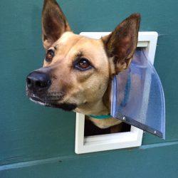 Large dog trying to get through a tiny dog door.